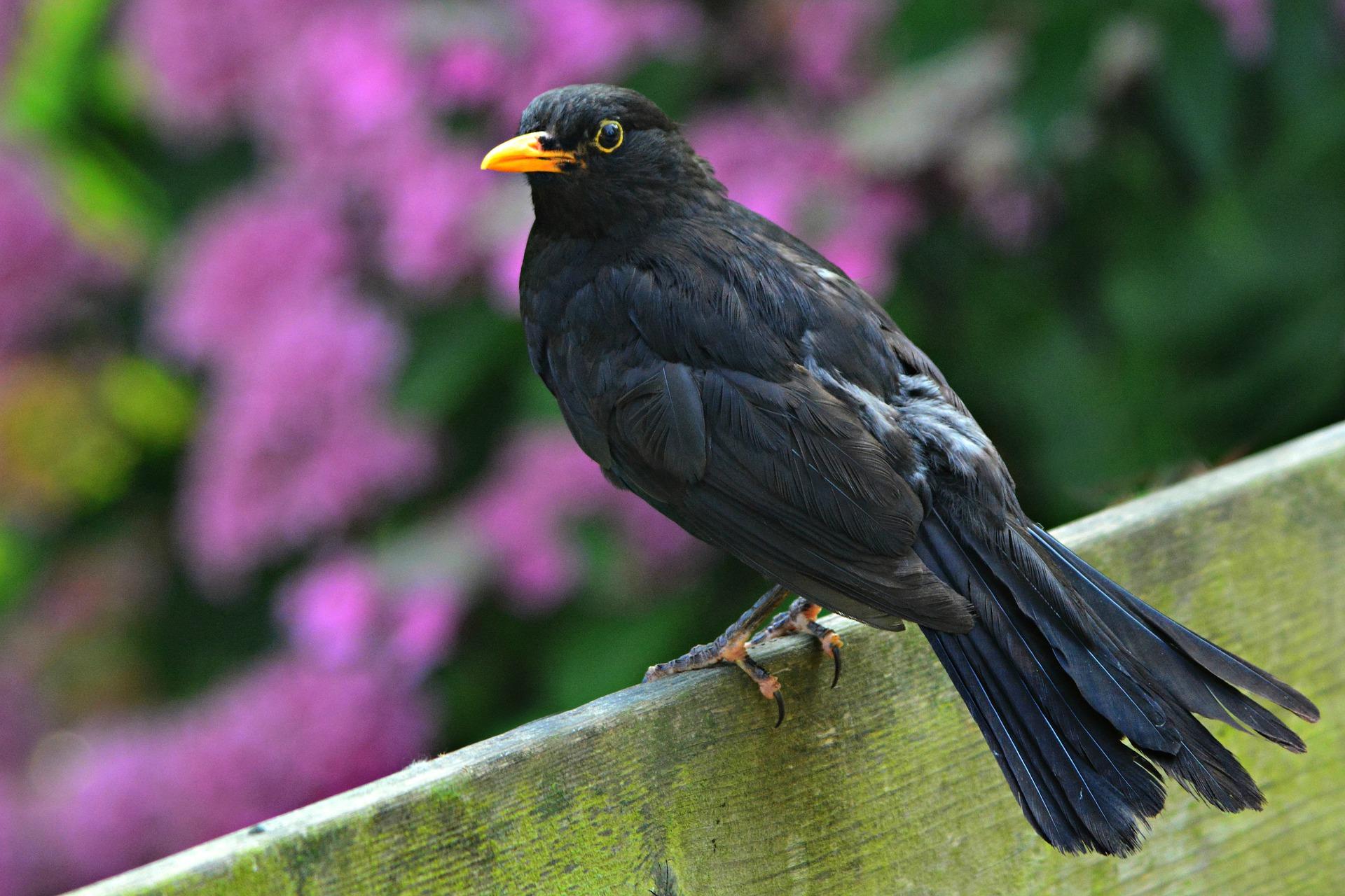 Amsel im Portrait - Vogelwissen