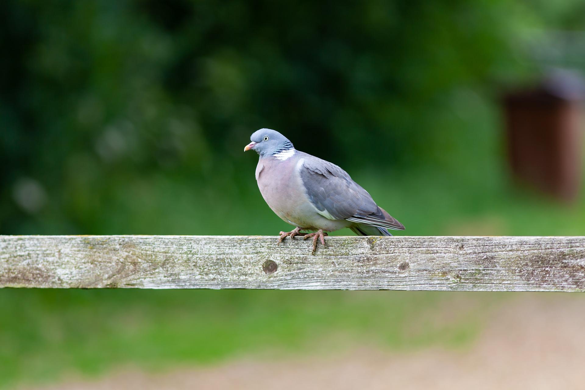 Ringeltaube im Portrait - Vogelwissen