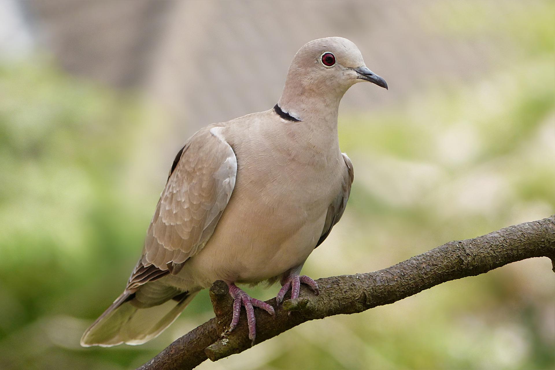 Türkentaube im Portrait - Vogelwissen