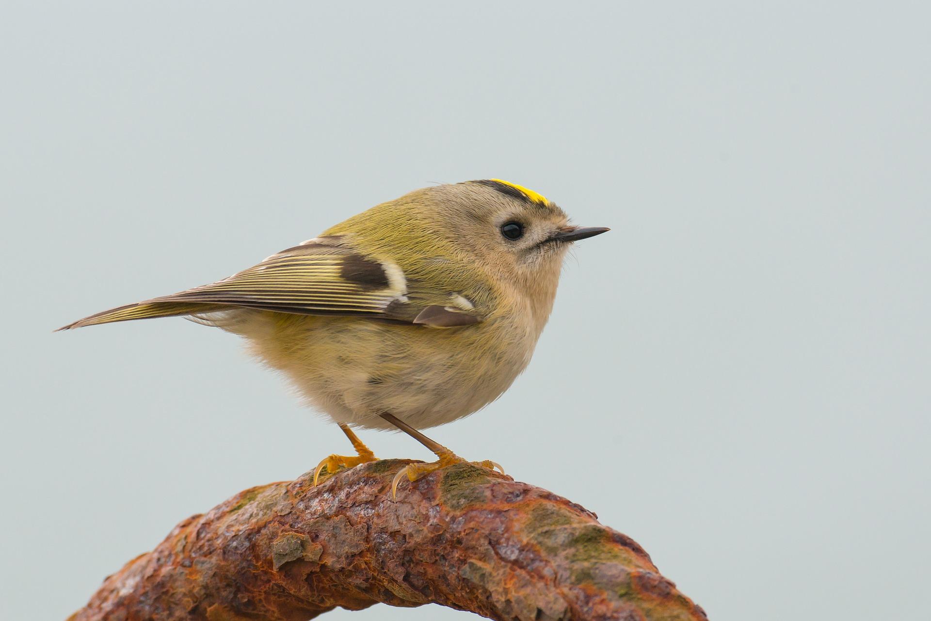 Wintergolghähnchen im Portrait - Vogelwissen